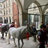 Lipizanner horses