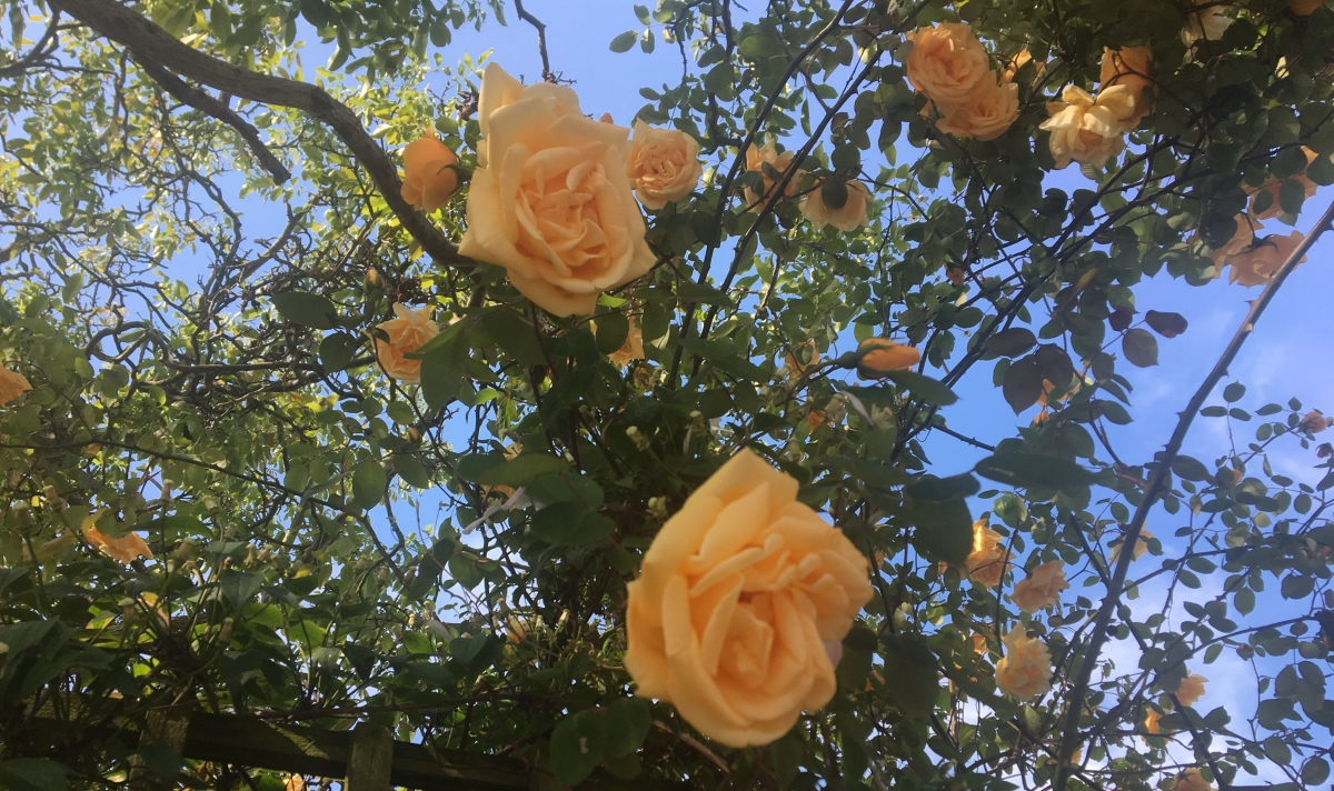 Image of yellow roses on a bush with blue sky in the background