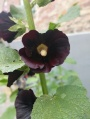 Beautiful black flower